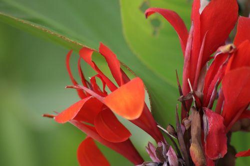 canna flowers cannaceae