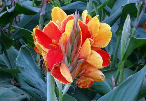 canna keli canna lily