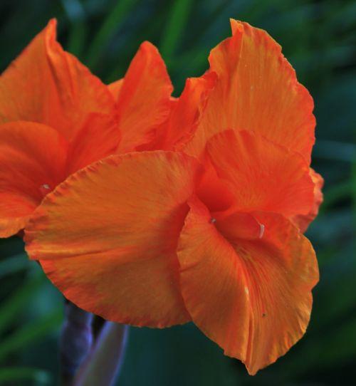 canna flower flower orange