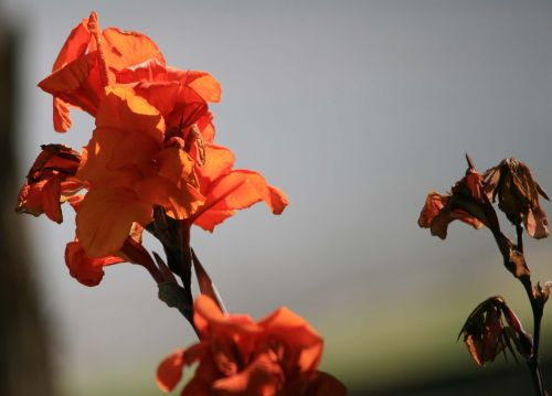 Canna Flower Blooming