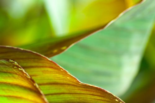 canna indica letter the annual plant