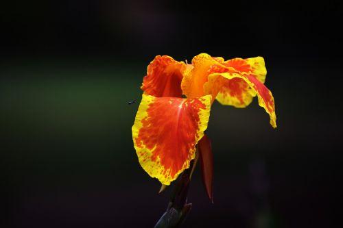 canna lily yellow orange flower