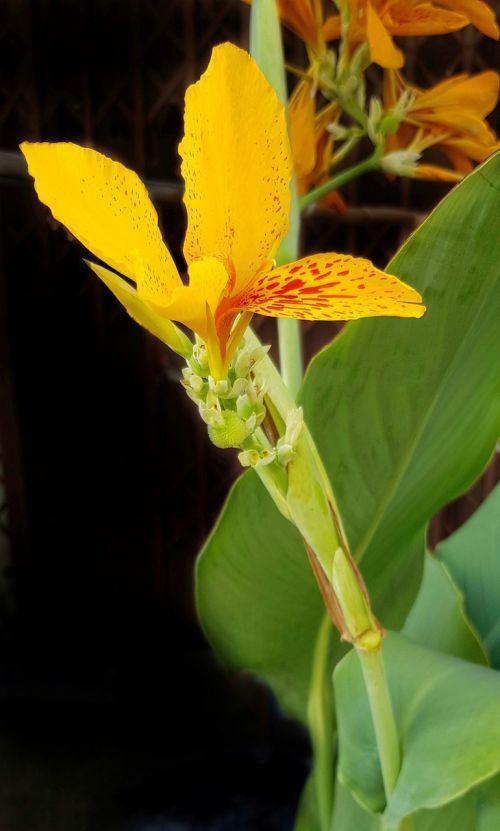 canna lily lily orange