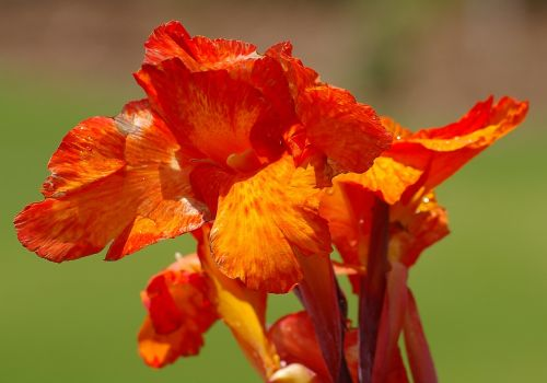 canna lily flower bloom