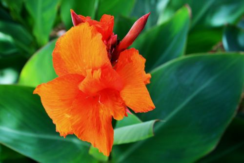 Canna Plant Flowering