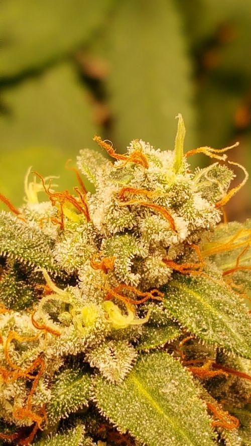 cannabis grow marihuana