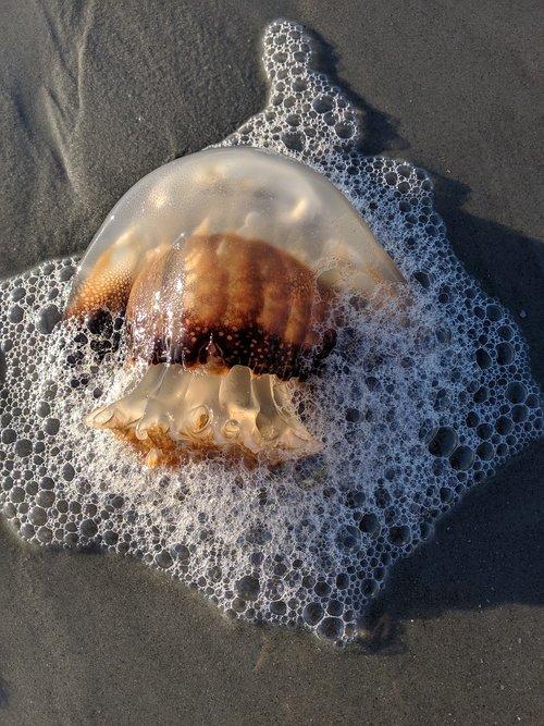 Free photos beach jellyfish search, download - needpix com