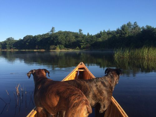 canoeing dogs canoe