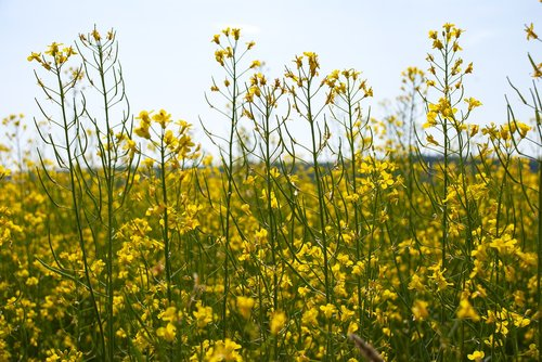 canola  summer  cultivation