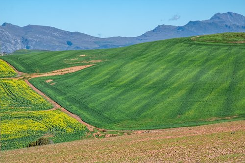 canola fields  rolling hills  cultivation