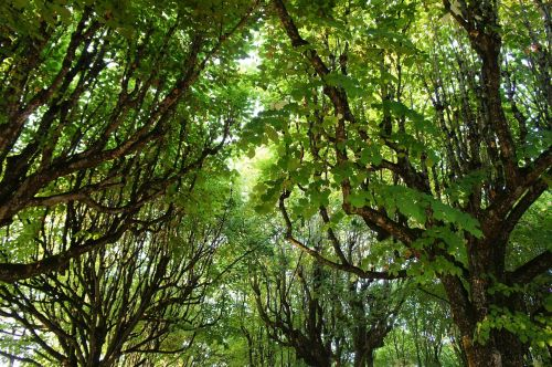 canopy,leaves,green,color,shades of green,green green,tree,branches,trees,foliage,upward