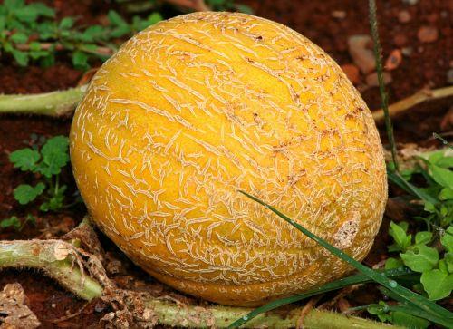 cantaloupe mushmelon melon