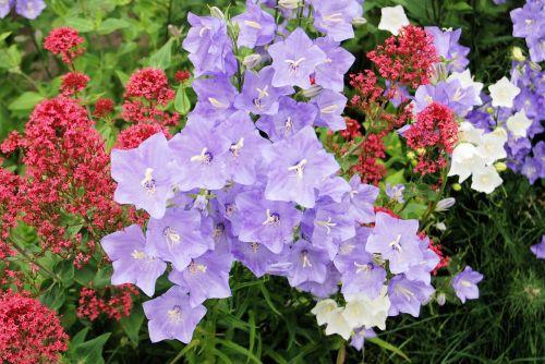 canterbury bell campanula bell flower