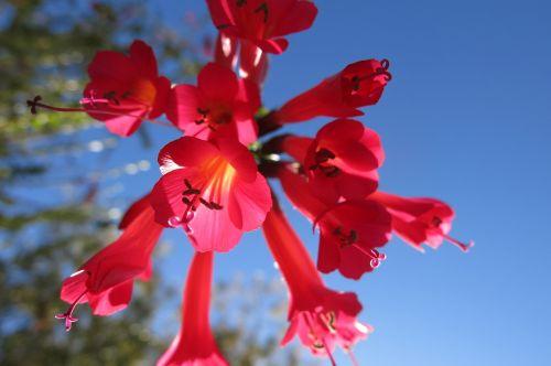 cantua buxifolia the national flower of peru hummingbird flower