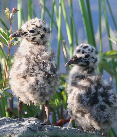 canus larus chicks