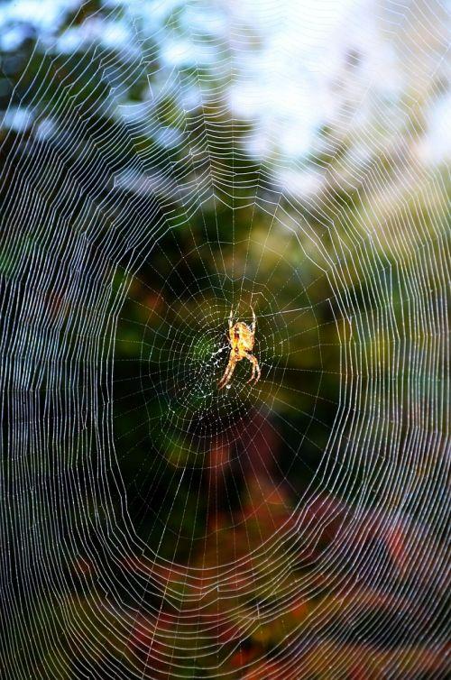 canvas spider nature