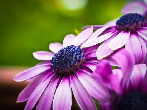 cape basket flower composites