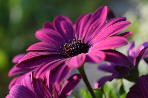 viršukalnės krepšys,rožinis,žiedas,žydėti,Uždaryti,gražus,gėlė,vasara,ispanų marguerite,gamta,sodas,pelėsių ramunės,atvirukas,sveikinimai