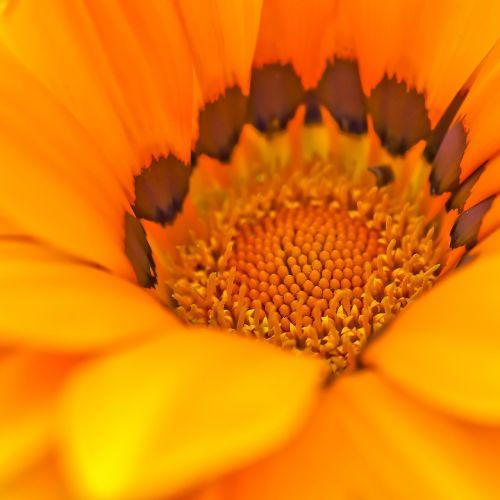 viršukalnės krepšys,gėlė,ispanų marguerite,kompozitai,gėlės,pelėsių ramunės,gamta,vasara,sodas,pavasaris,žydėti,augalas,makro,struktūra,lapai,gražus,Uždaryti,kapmargarithe,geltona,asteraceae