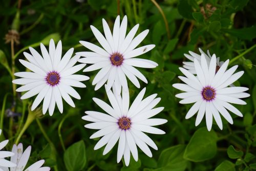 cape basket flowers white