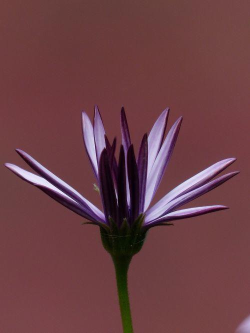 viršukalnės krepšys,gėlės,šviesiai violetinė,violetinė,osteospermas,pelėsių ramunės,paternoster krūmas,kompozitai,asteraceae