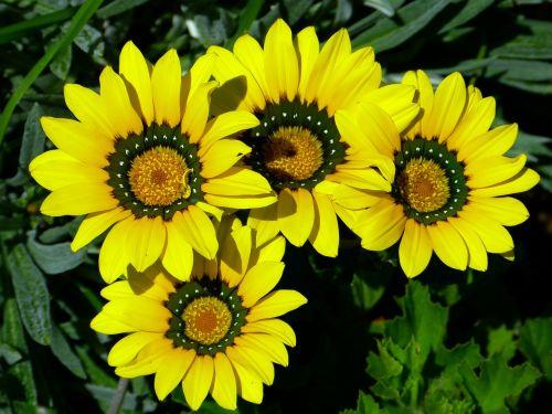 cape basket osteospermum cape daisies