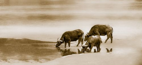 cape buffalo water river