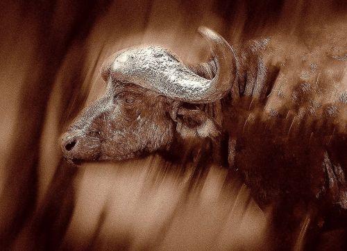 cape buffalo horns safari