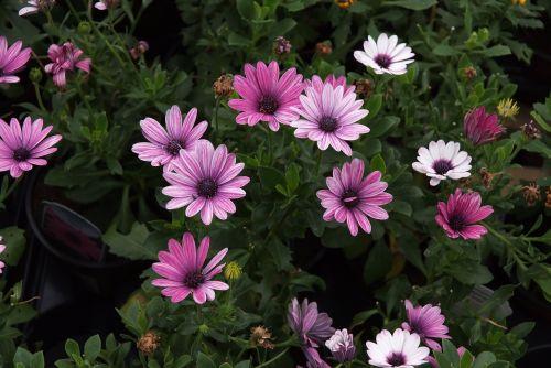african Daisy,pelėsių ramunės,rožinės ramunės,saldus rožinės gėlės