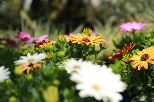 cape daisy  osteospermum  cape daisies