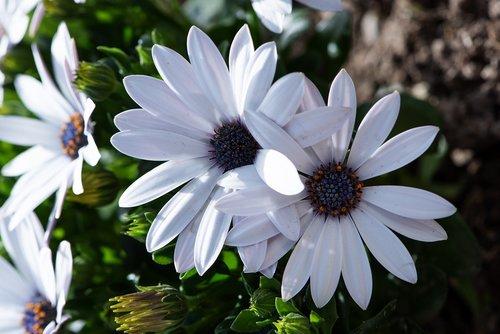 cape daisy  white  flowers
