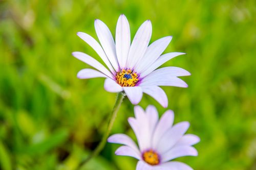 cape daisy flowers daisy beauty