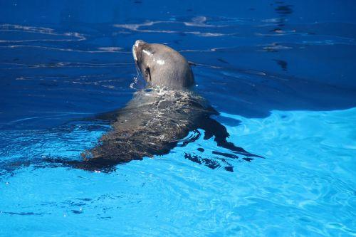 Cape Fur Seal In Water