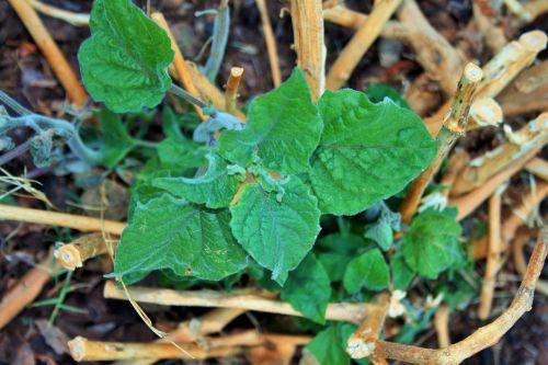 Cape Gooseberry Renewed