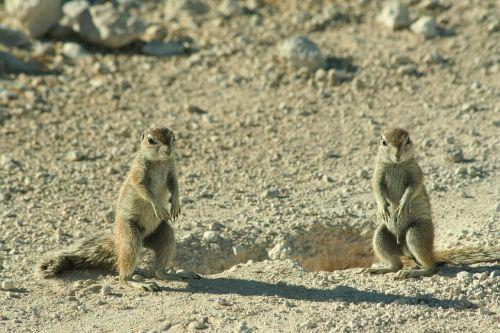 cape ground squirrel squirrel namibia