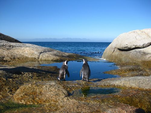 cape of good hope south africa penguins