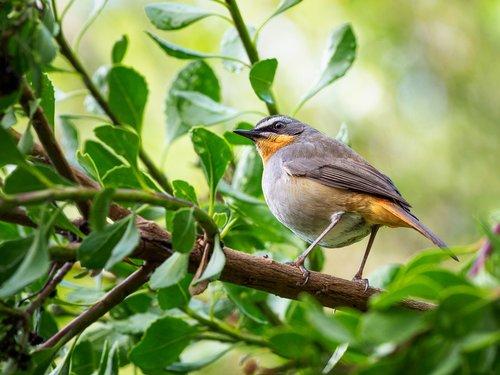 cape robin-chat  bird  robin