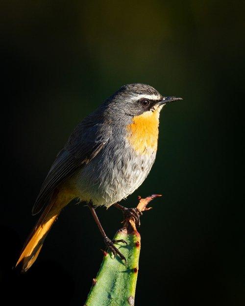 cape robin-chat  bird  animal