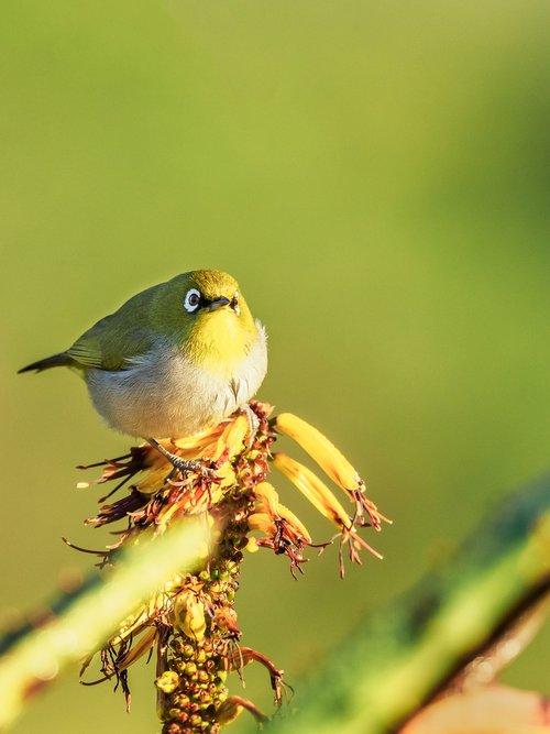 cape white-eye  bird  nature