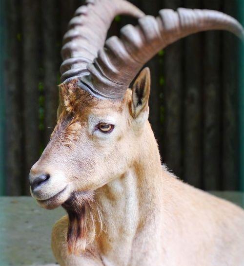 capricorn alpine ibex horns