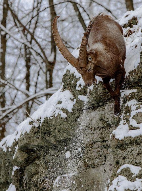 capricorn alpine ibex goat-like