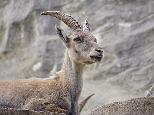 capricorn ungulate horns