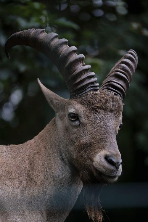 capricorn goat animal