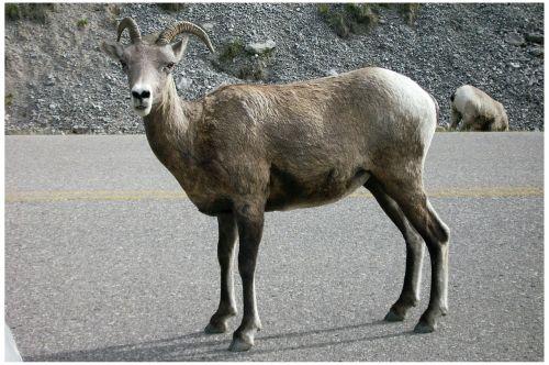capricorn jasper national park west canada