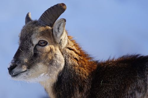 capricorn young animal alpine