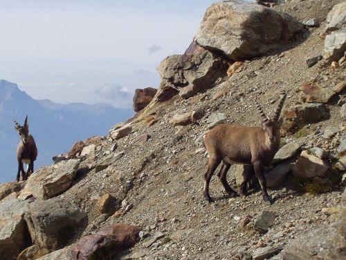 capricorn ibex mountains