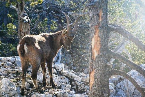 capricorn alpine ibex  ruminant  bovide