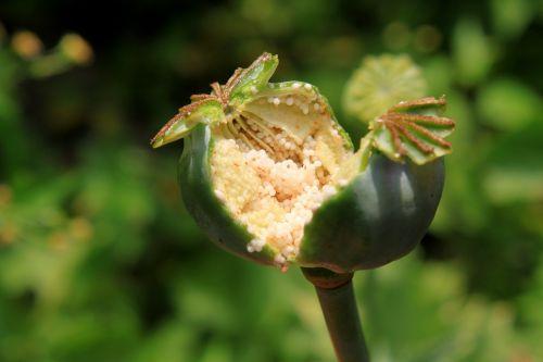capsules garden opium