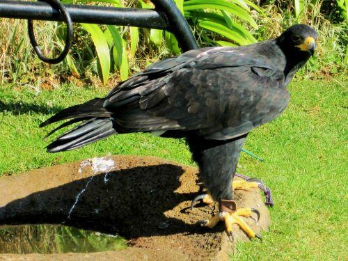 Captive Bird Of Prey