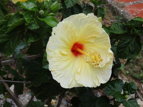 hibiscus captured home